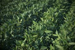 Green soybean plants in field royalty free stock photos