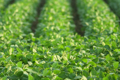 Green soybeans, summer Stock Photos