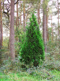 Green spruce  in the forest Royalty Free Stock Photos