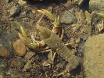 Green Speckled Crayfish Royalty Free Stock Images