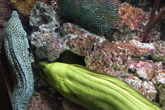 Green and speckled eels in hiding. Green and speckled eels are shy creatures among the rocks. They also carry Ciguatera, a foodborne illness caused by eating eel Royalty Free Stock Photo
