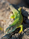 Green Speckled Lizard on Grey Rock Stock Images