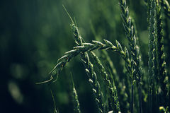 Green spelt wheat crops growing in cultivated field Royalty Free Stock Photography