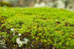 Green sphagnum moss close up with blurred background Stock Images