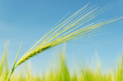 Green spica on field Stock Photography