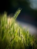 Green spica over field Stock Images