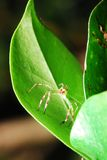 Green spider. Mohawk style hair standing on a green leaf Royalty Free Stock Photography