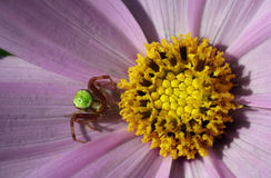 Green spider. Sitting on a tender flower stock images