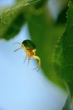 Green spider. Royalty Free Stock Images