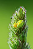 Green spider on a flower with green background Royalty Free Stock Photo