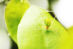 Green spider Royalty Free Stock Image