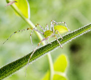 Green Spider. Its a green spider on a green stem of a plant Stock Image