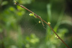 Green spider and its web on a branch in the forest Royalty Free Stock Images
