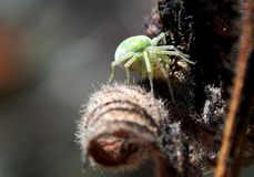 Green spider. Little green spider on the plant Stock Images