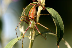 Green Lynx Spider. On a plant Stock Photo