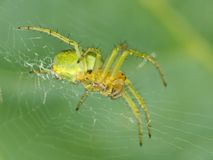Green Spider. Macro photo of a green orb spider in its web Stock Photography