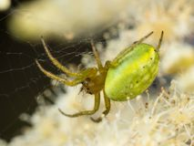 Green Spider. Macro photo of a green orb spider in its web with prey Stock Images