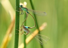 Dragon flies mating. Green spider mantis female eggs s insect insects sting red dragon fly flies blade grass open arms mantid mantids mantises spiders eating royalty free stock photos