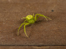 Green spider micrommata virescens Royalty Free Stock Photos