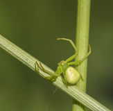 Green spider Royalty Free Stock Images