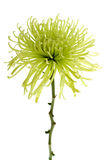 Green Spider Mum Stock Photography