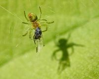 Green spider and the shadow