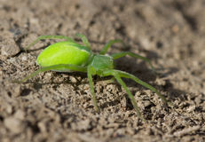 Green spider sitting on the ground. Royalty Free Stock Photo