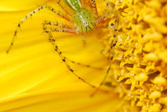 A green spider in sunflower Royalty Free Stock Images
