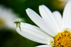 Green spider on white daisy Stock Image