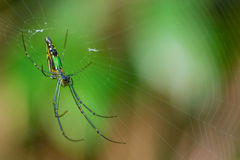 Green spiderweb thailand. Lite small insect on the world Royalty Free Stock Photo