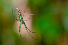 Green spiderweb thailand. Lite small insect on the world Stock Photos