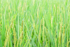 Green spike rice field in rice farm for background Royalty Free Stock Photos