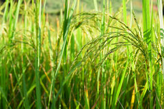 Green spike rice field in rice farm for background (selected focus) Stock Images