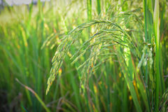 Green spike rice field in rice farm for background (selected focus) Royalty Free Stock Photo