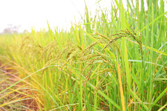 Green spike rice  field in rice farm Royalty Free Stock Photos