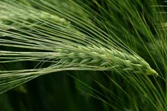 Green spike of rye Royalty Free Stock Images