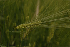 The green spike of rye Stock Images