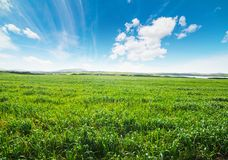 Green spike under a blue sky in springtime. Sardinia, Italy Stock Photo