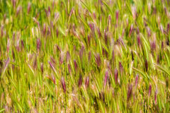Green spikelets. Close-up. Stock Image