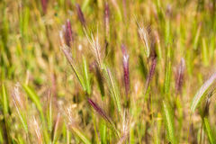 Green spikelets, close-up. Royalty Free Stock Photo