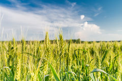 Green spikelets  on the field Royalty Free Stock Images