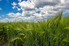 Green spikelets of wheat against a background of blue sky and cumulus clouds royalty free stock photography