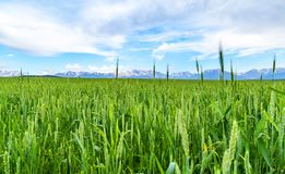 Green spikelets of wheat in a natural environment on the field.  Royalty Free Stock Images