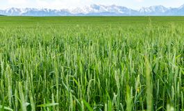 Green spikelets of wheat in a natural environment on the field.  Stock Image