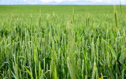 Green spikelets of wheat in a natural environment on the field.  Stock Images