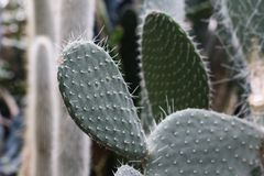 Green spikes on fleshy leaf Cacti Royalty Free Stock Photos