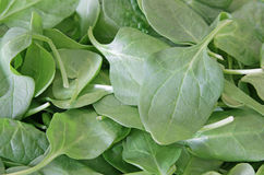 Healthy Green Spinach Royalty Free Stock Images