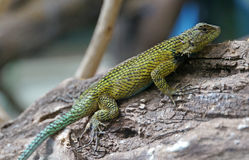 Green Spiny Lizard Royalty Free Stock Images