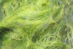 Green spirogyra is fresh water algae have very high calcium and beta-carotene,used for cooking ,it`s popular in North and. Close up Green spirogyra is fresh stock images