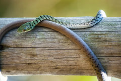 Green Spotted Bush Snake Coiled Around Wood. This green spotted bush snake, a common inhabitant of Botswana, almost looks like two different species, as its Stock Photo